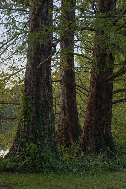 Shaw Nature Reserve (Arboretum), in Gray Summit, Missouri, USA - Three cypress trees