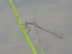 Swamp Spreadwing - Lestes vigilax