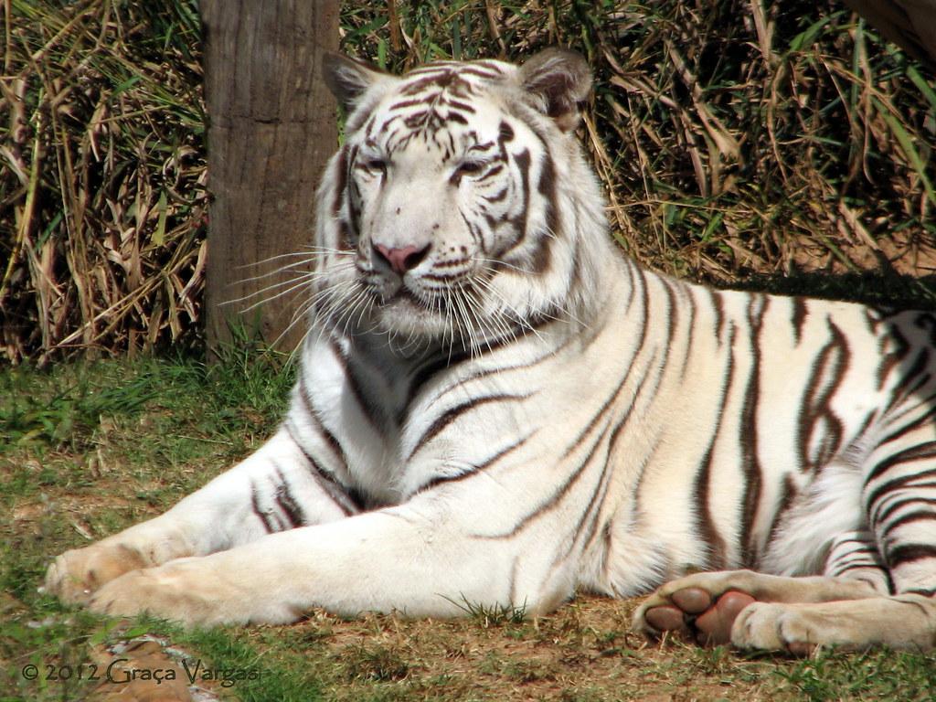 White Tiger Tigre Branco O Tigre Branco Que Pode Ser Uma Flickr