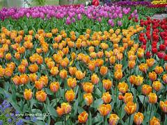 Dutch Tulips, Keukenhof Gardens, Netherlands - 3924