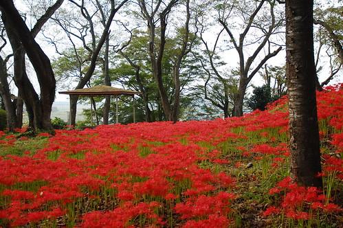 park autumn red flower japan landscape 日本 花 秋 東北 miyagi tohoku 2012 公園 彼岸花 曼珠沙華 宮城県 d40 古川 osakishi 宮城県大崎市