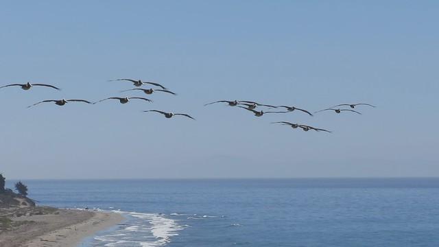 MVI_0642 pelicans flying sperling bluff