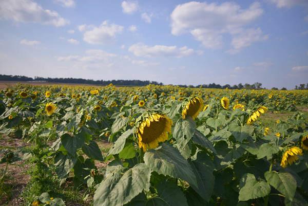 Small Field of Sunflowers