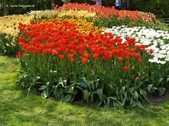 Dutch Tulips, Keukenhof Gardens, Holland - 0672
