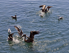Monterey Bay - Pelicans and Sea Gulls