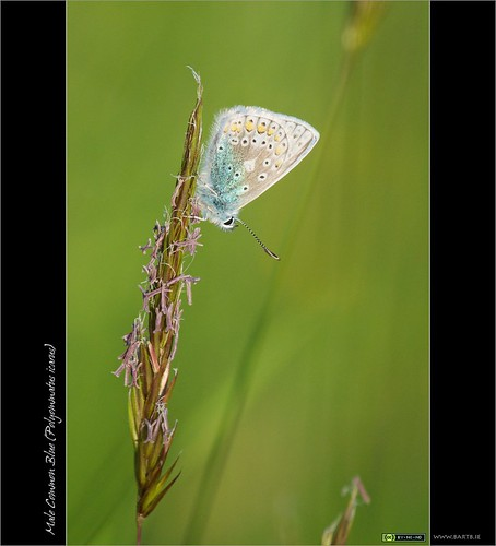 A Common Blue Cliché