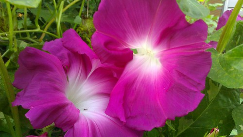 Ipomoea nil - Japanese Morning Glory by Gerris2