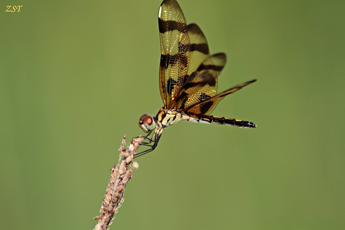 insect texas dragonfly thewoodlands halloweenpennant celithemiseponina tamron70300telemacro canon7d zeesstof containmentpond