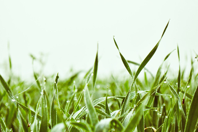 Grass in fog and morning dew