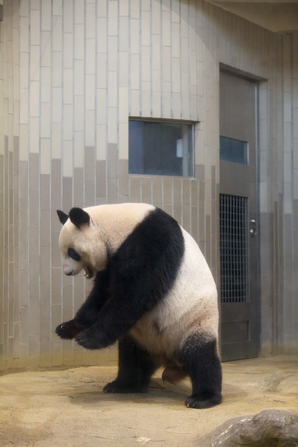 パンダのシンシン 2012 09 05