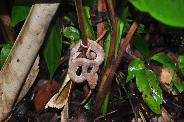 Esta escondida serpiente de cabeza en punta de flecha es una de las más mortales de Costa Rica, ... de todos los tamaños y colores, campan a sus anchas por el parque nacional, una de las razones por las que es obligatorio el uso de botas altas. Tortuguero - 7950189424 a37335ba6e z - Tortuguero, entre la tranquilidad y la vida salvaje
