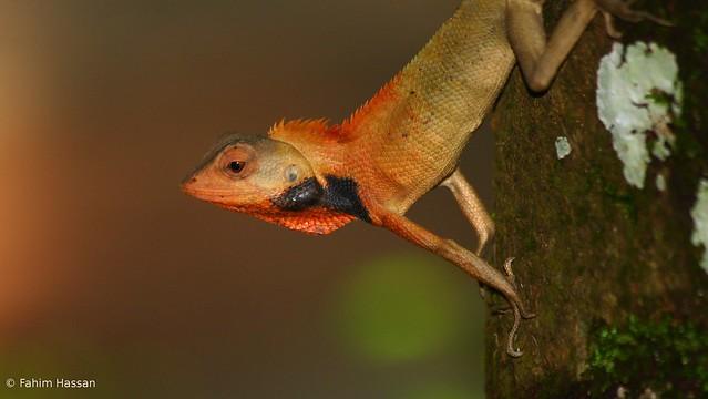 commmon garden lizard 2