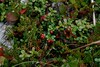 Low bush cranberry