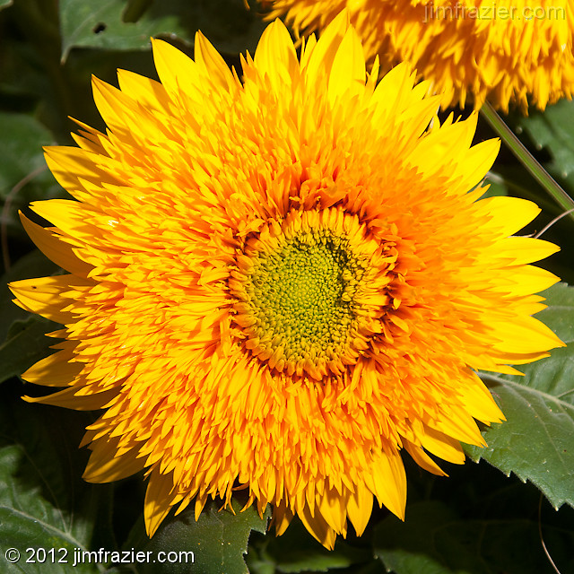 Sunflower 'Goldie'