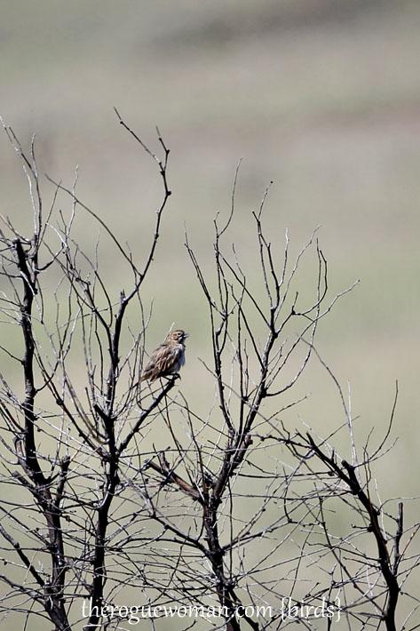 090212_04_bird_pass_rufusCrownedSparrow