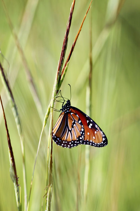 090312_02_butterfly_queen