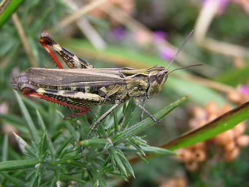 Chorthippus binotatus - Criquet des ajoncs - 17/09/12