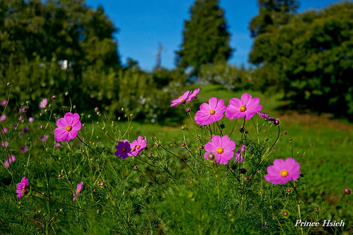波斯菊 - Cosmos of Fushoushan farm
