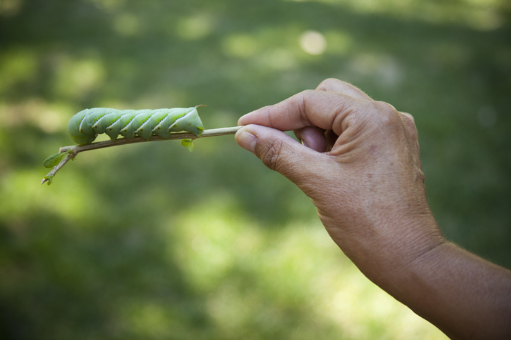 Giant Hornworm