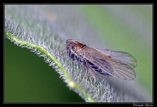 Javesella pellucida femelle