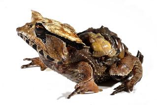 Hemiphractus scutatus