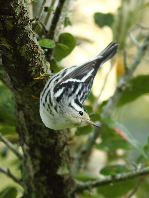 Black-and-white Warbler 20120924
