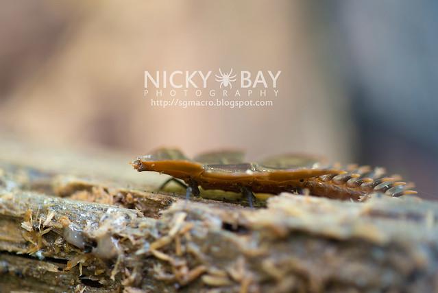 Trilobite Beetle (Duliticola sp.) - DSC_9429