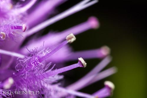 Pogostemon yatabeanus Flowers