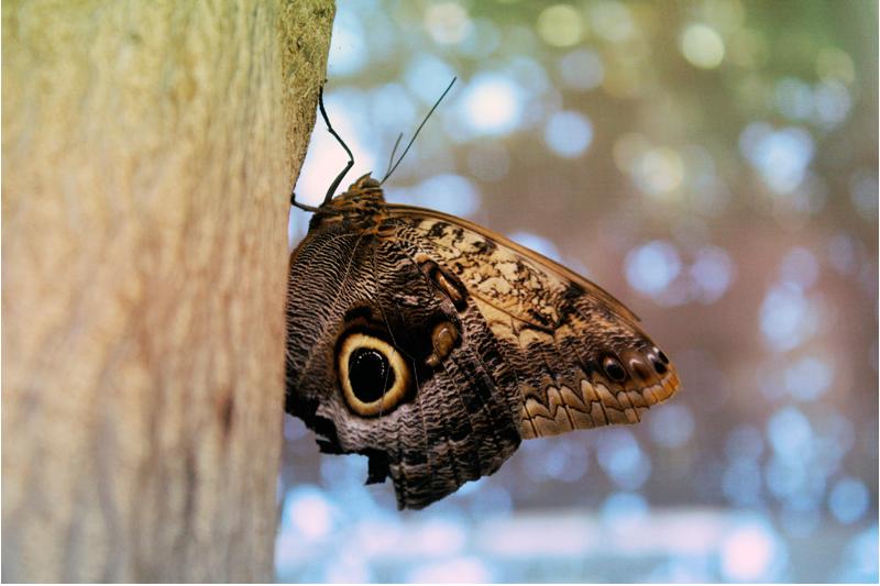 {owl} butterfly