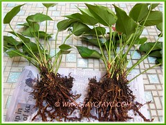 Propagating our Pink Anthurium (a dwarf variety) by division - Step 1