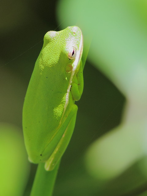 Green Tree Frog 2-20120930