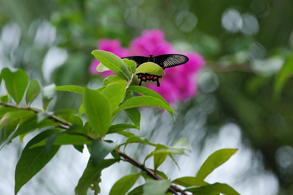 紅紋鳳蝶-3