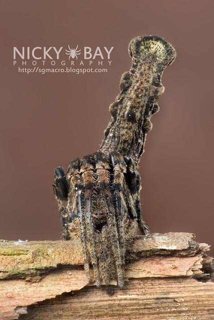 Tree Stump Orb Weaver (Heurodes porculus) - DSC_7078