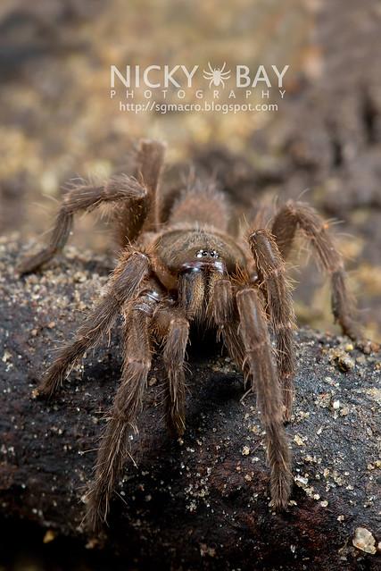 Tarantula (Phlogiellus inermis) - DSC_6983
