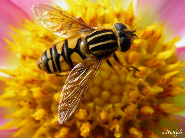 Hoverfly 1