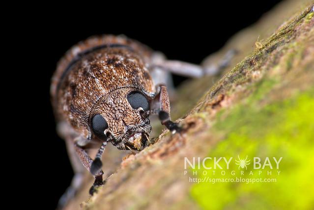 Fungus Weevil? (Anthribidae?) - i02792