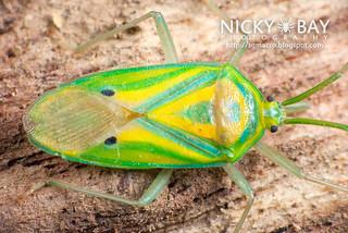 Stink bug (Urostylis cf. histrionica) - DSC_5696