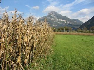Ripe maize