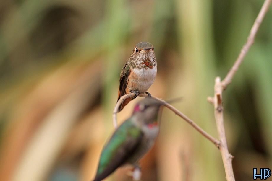 Allen's Hummingbird 100712