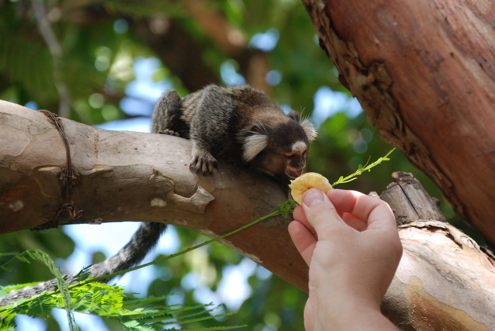 monkey and banana
