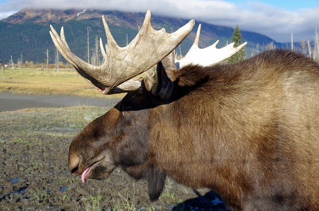Moose - Alaska Wildlife Conservation Center near Anchorage