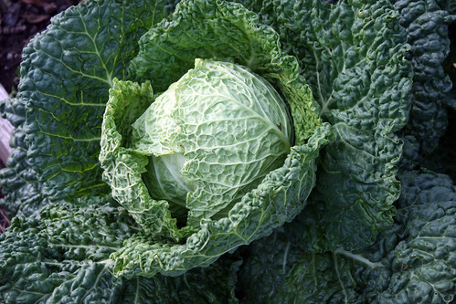 savoy cabbage 040