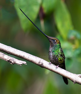 Sword-billed-Hummingbird