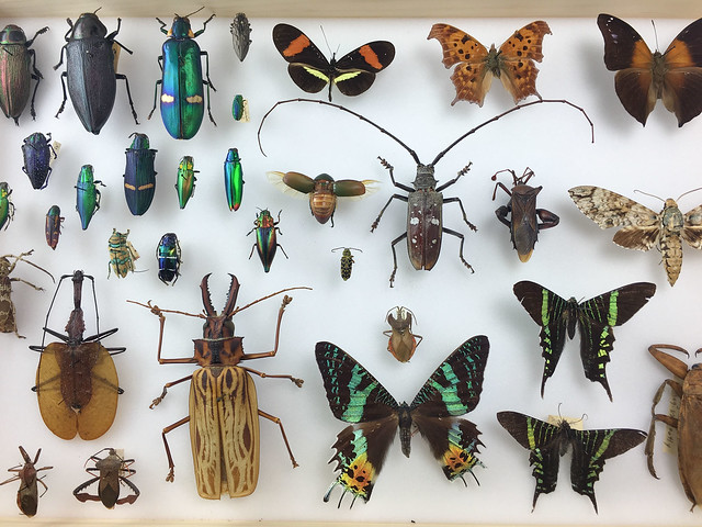 Lots of different insects - jewel beetles, day flying moths, beetles, violin beetles. Pinned preserved specimens.