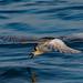 White - Winged Black Tern - Juvenile by John Tymon