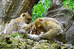 Singes en famille - Photo of Chaunay