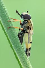 """Big Hoverfly """"Helophilus trivittatus / Grosse Sumpfschwebfliege"""""""