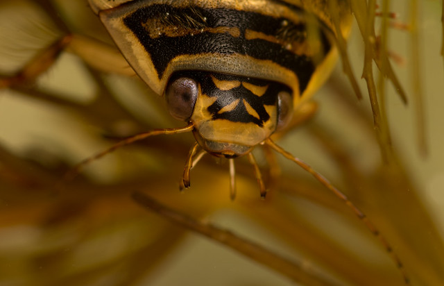 Lesser diving beetle Acilius sulcatus female close up