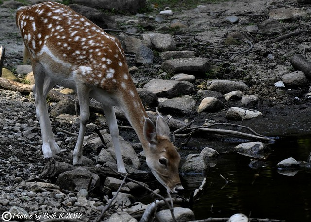 Fawn drinking from  a pond