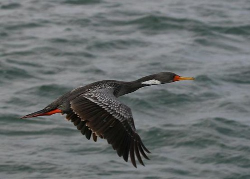 Red-legged cormorant - Coastal marine birding with Nature Expeditions in Peru